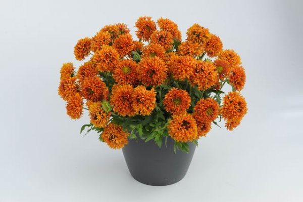 Gaillardia Galya Orange Spark