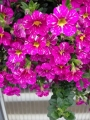 MYP exclusive calibrachoa- Magenta Mayhem.JPG