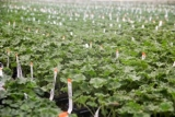 geraniums youngplants-78.jpg
