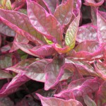 Alternanthera Brazilian Red Hots