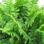 Foliage Fern True Boston