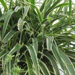 Foliage Spider Plant