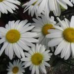 Leucanthemum Whitecap