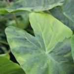 Colocasia 'Morning Dew'