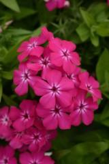 Garden Phlox Gisele Hot PInk