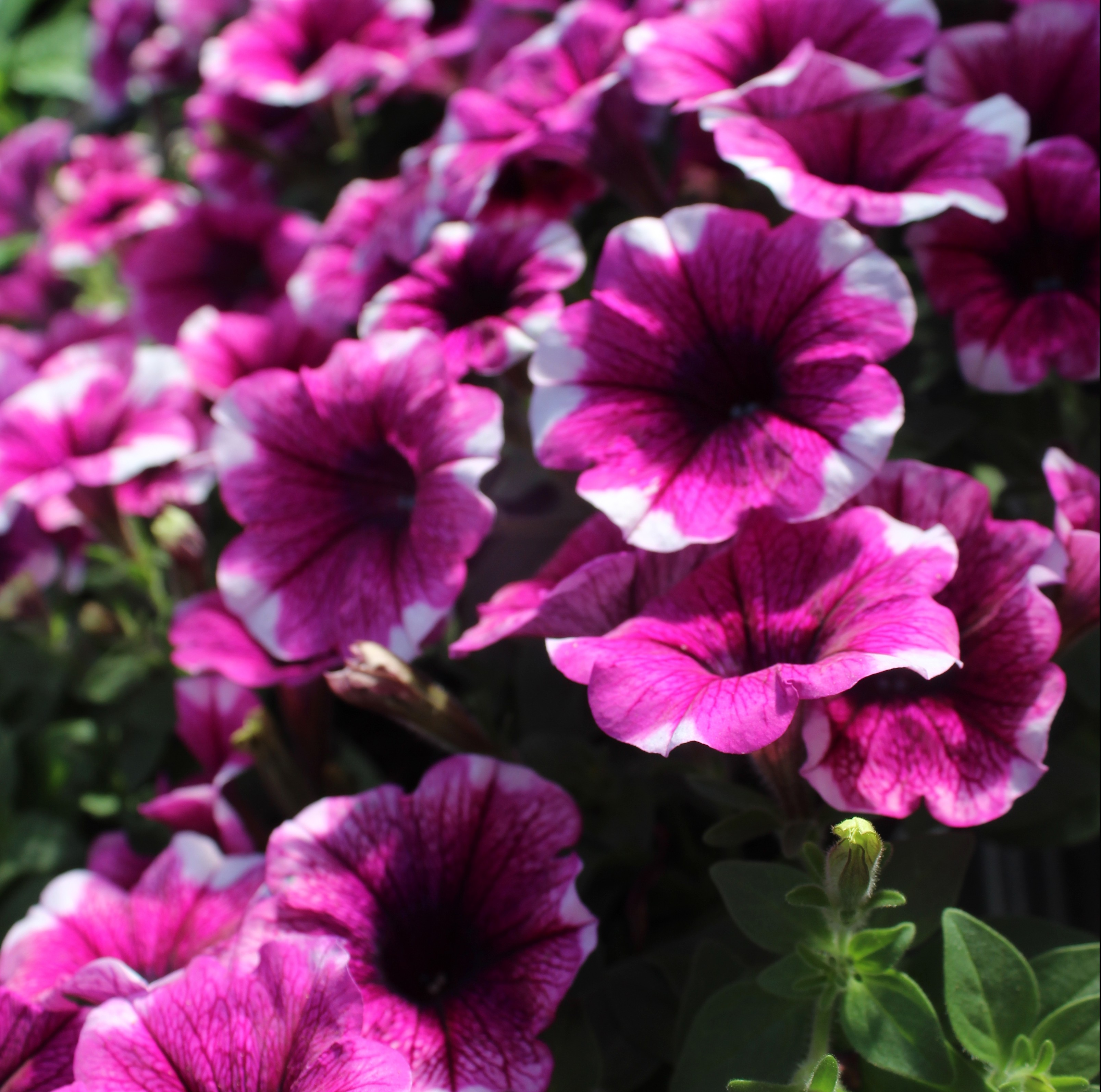 Petunia sweetunia purple touch – Mast Young Plants