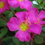 Portulaca Pazzaz 'Fuchsia'