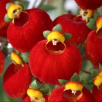 Calceolaria calynopsis red