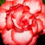 Begonia Tuberous OnTop Pink Halo