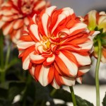 Dahlia Starsister Orange Stripes