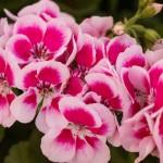 Geranium Zonal Maestro Idols Light Pink
