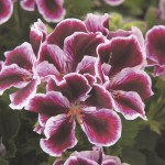 Geranium Regal Elegance Imperial
