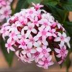 Pentas Falling Star Pink Bicolor