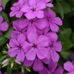 Phlox Gisele Light Violet