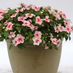 Impatiens Trailing