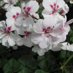 Geranium Ivy Contessa