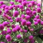 Gomphrena Pinball Purple