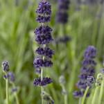 Lavender Aromatico